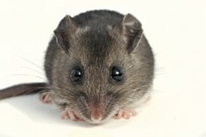 5 signs you may have a mouse problem