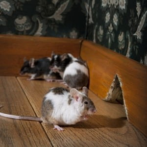 Health hazards you can develop from rodents