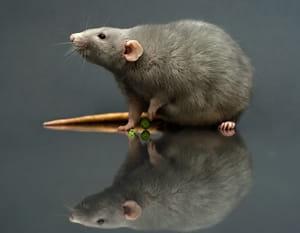 Pest Control To Deter Rats